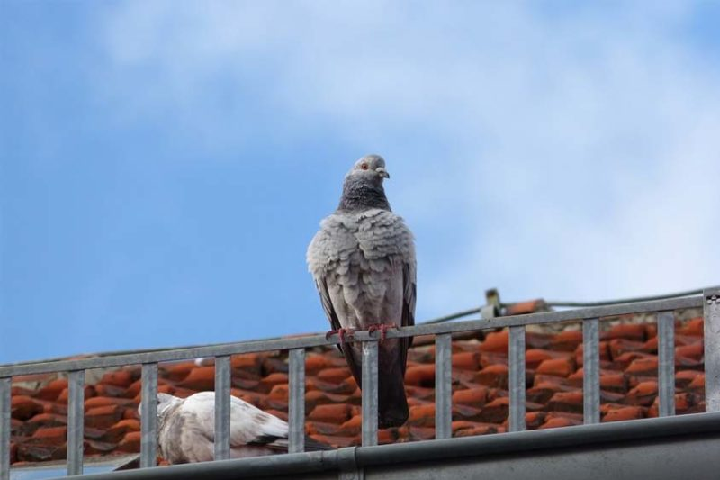 dove on the roof